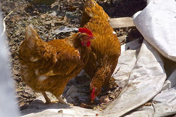 Chickens-with-water